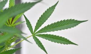 buy online weeds